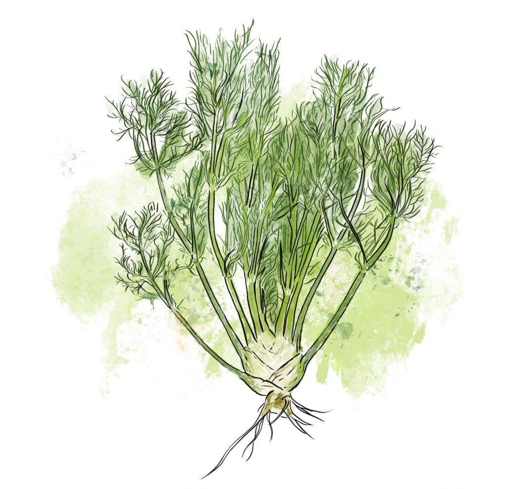 Fennel at Riverbend Gardens, Edmonton Alberta